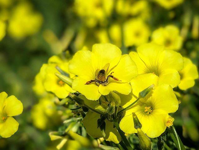 Spring has sprung. Wild flower bloom. #hiking #wildflowers #bees #bloom #topanga