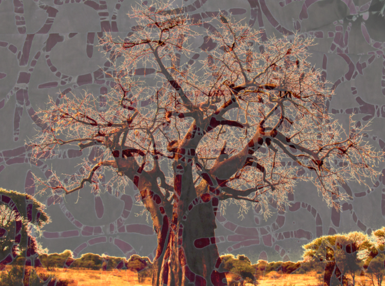 David Jordan Williams - african baobab tree