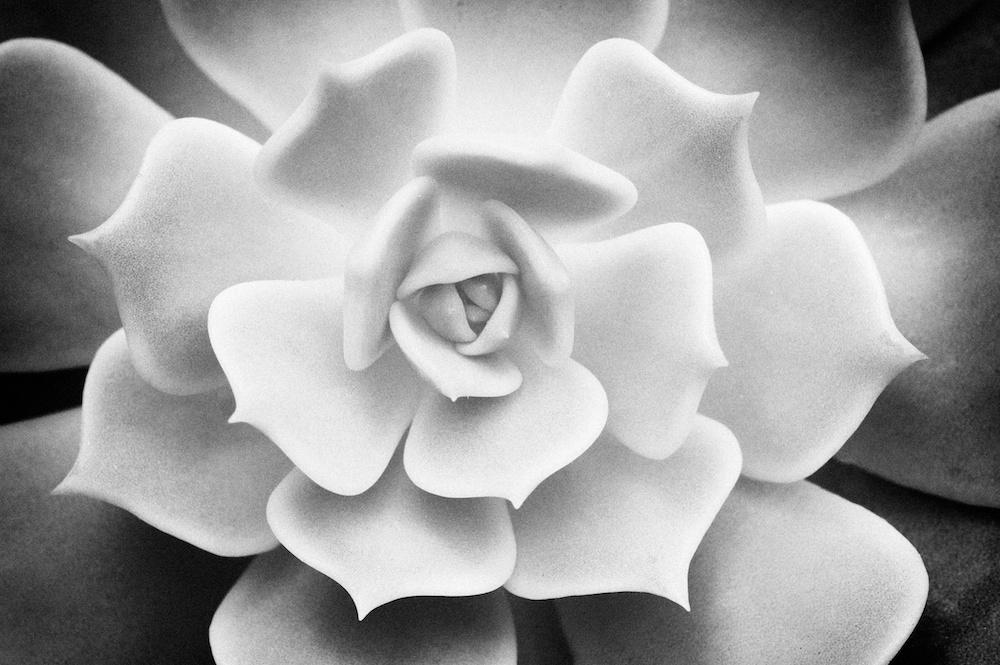 Cactus Closeup Alabaster Rose