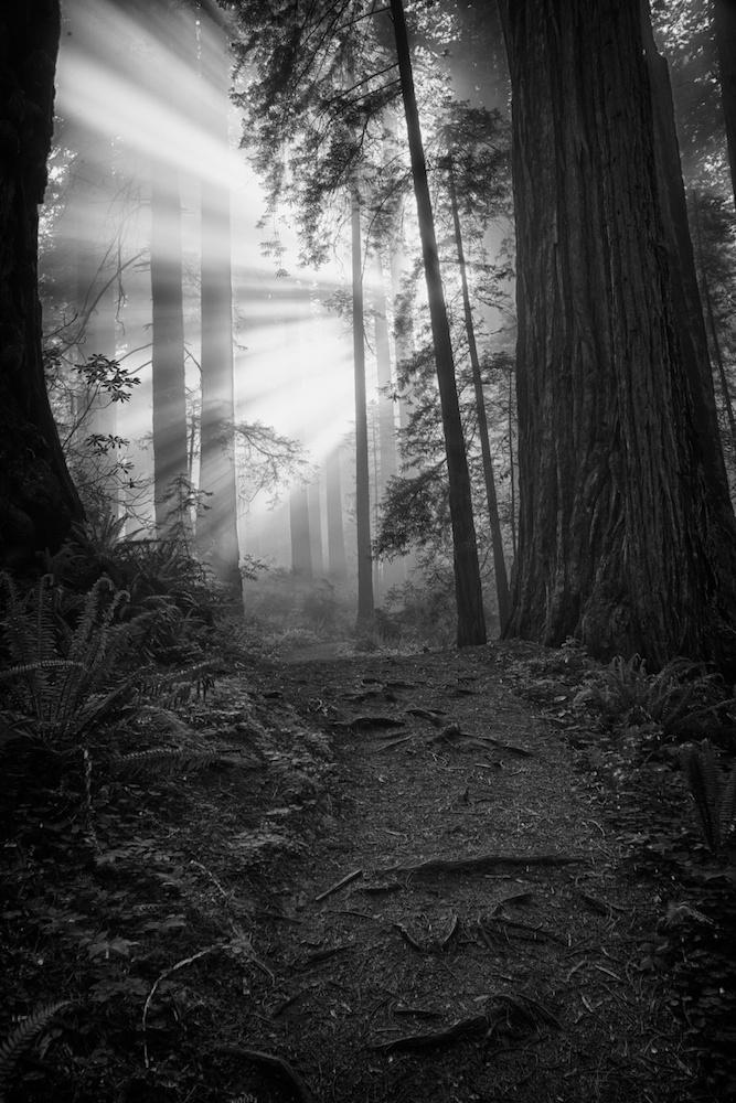 Sun Rays breaking through fog in Redwood Forest