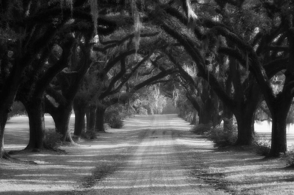 Live oaks lining driveway in St Francisville, Louisiana