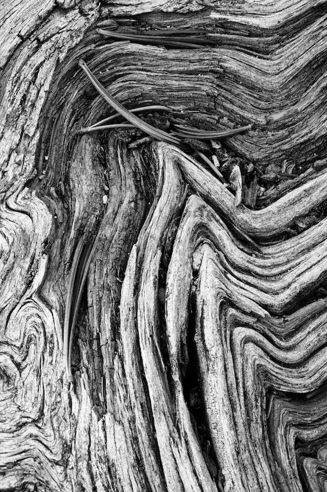 Abstract of weather worn wood grains in gnarled dead tree with pine needlesv