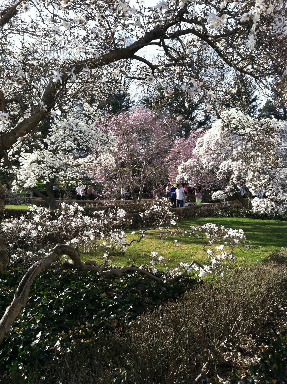 Magnolia Blossoms, Brooklyn Botanic Garden   Molly Caldwell, 2015