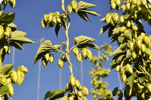 Carneros Brewing Company Hops
