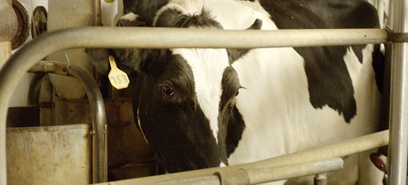 Cow Eye CU.jpg