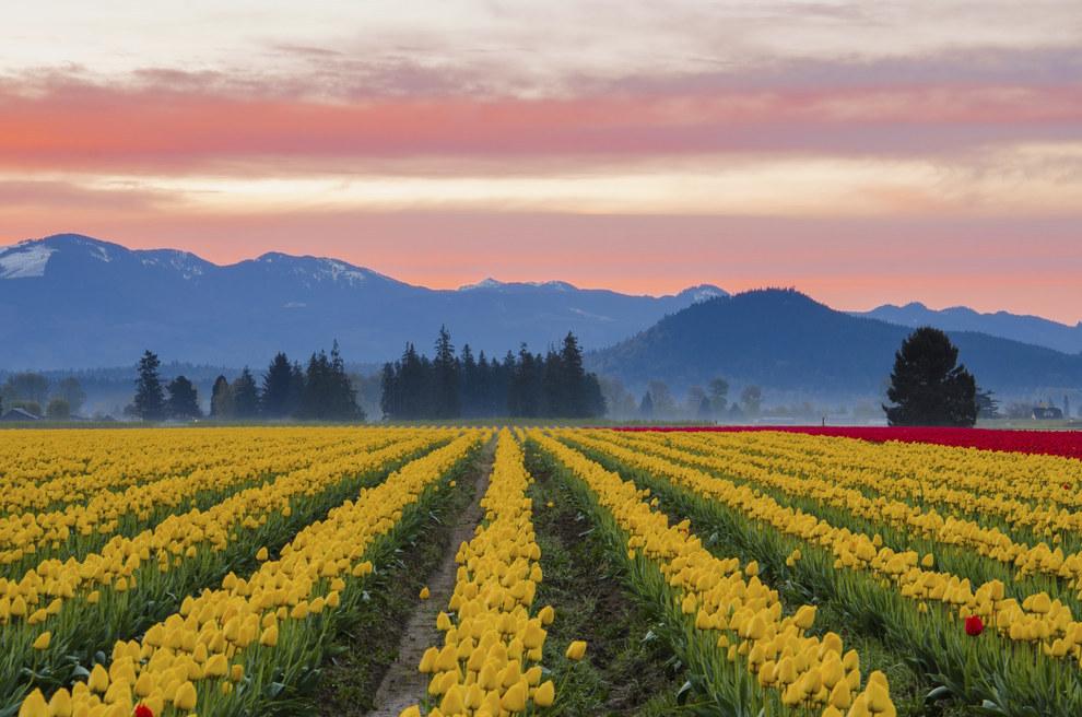 Skagit Valley Tulip Fields in Washington, United States