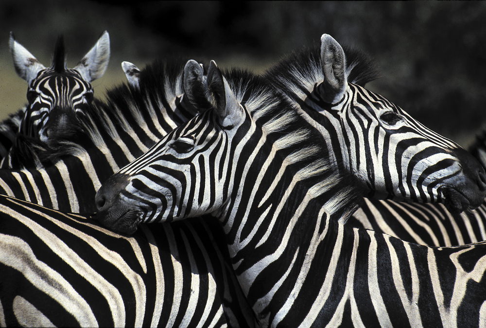Exquisite Zebras in Zambia. One of the many wildlife spectacles.