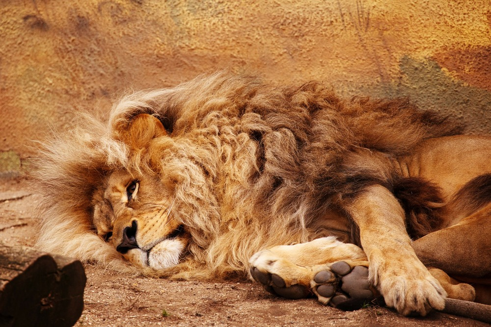 Majestic African Lion relaxing in Zimbabwe Mana Pools National Park.