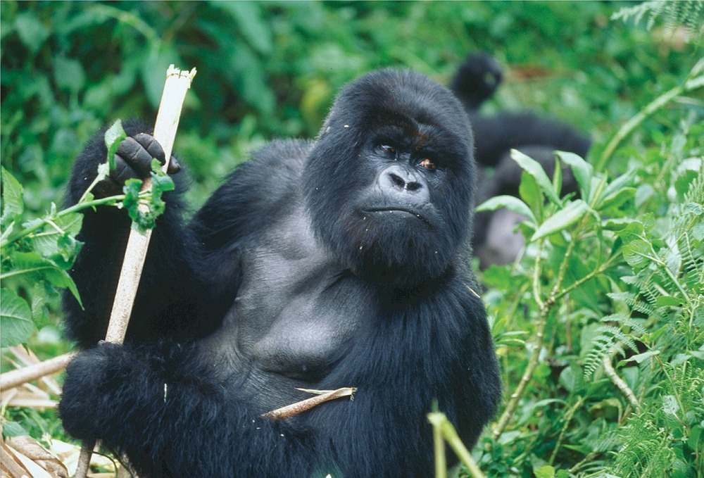 Silverback Gorilla in the luscious landscapes of Rwanda.