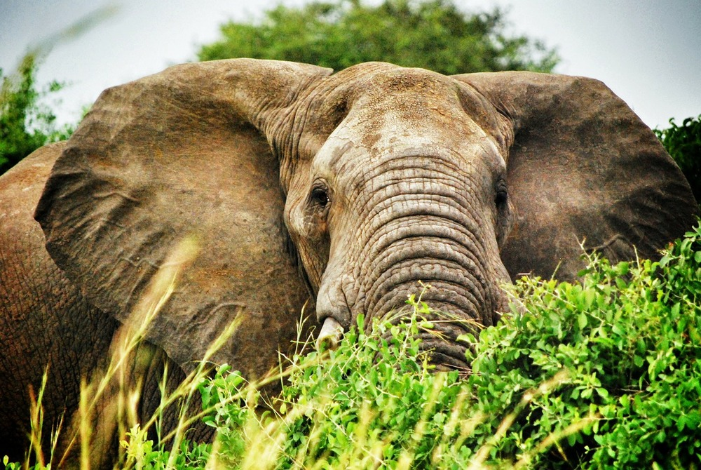 Epic African Elephant in the Bwindi Impenetrable Forest of Uganda.