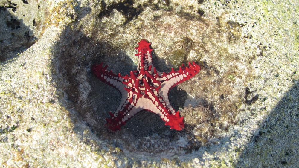 Red Starfish in Mozambique.