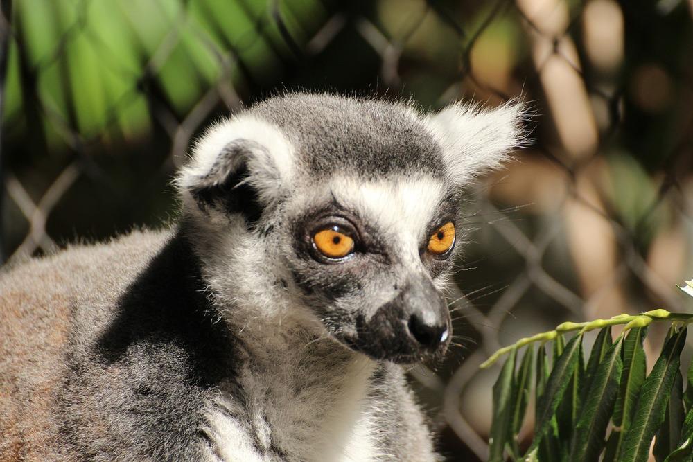Ring-Tailed Lemur in Madagascar.