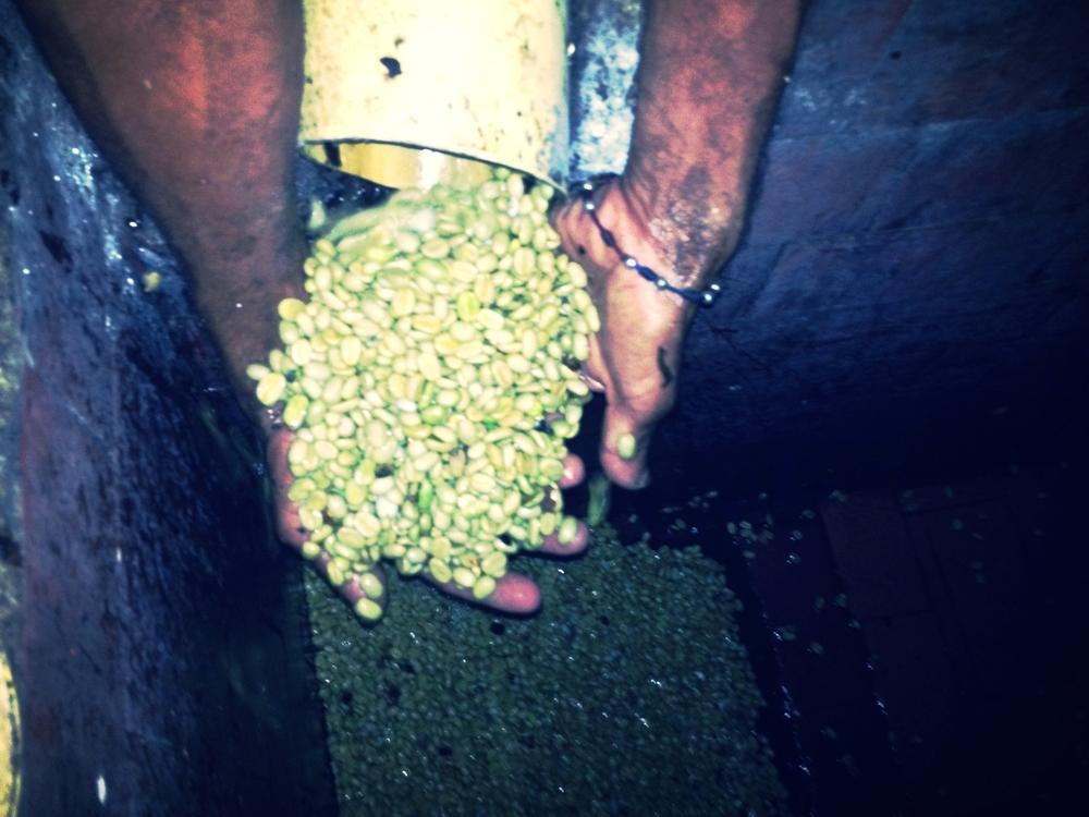 Se obtienen los granos de café