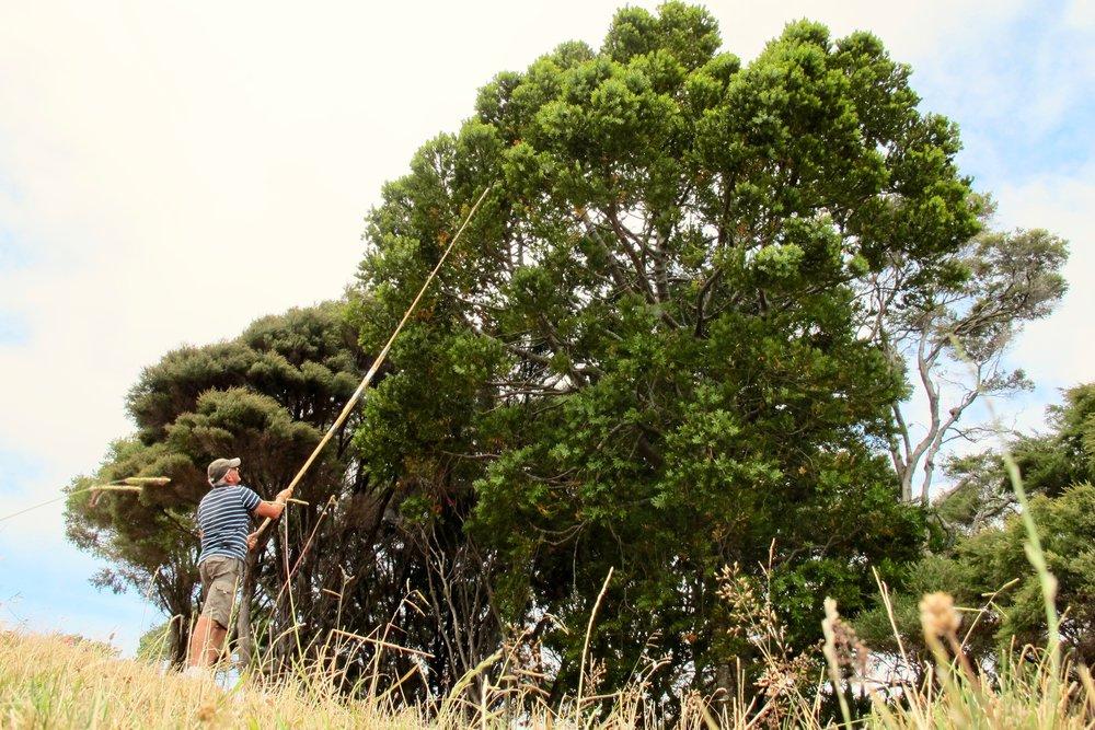 Kauri Picking.jpg