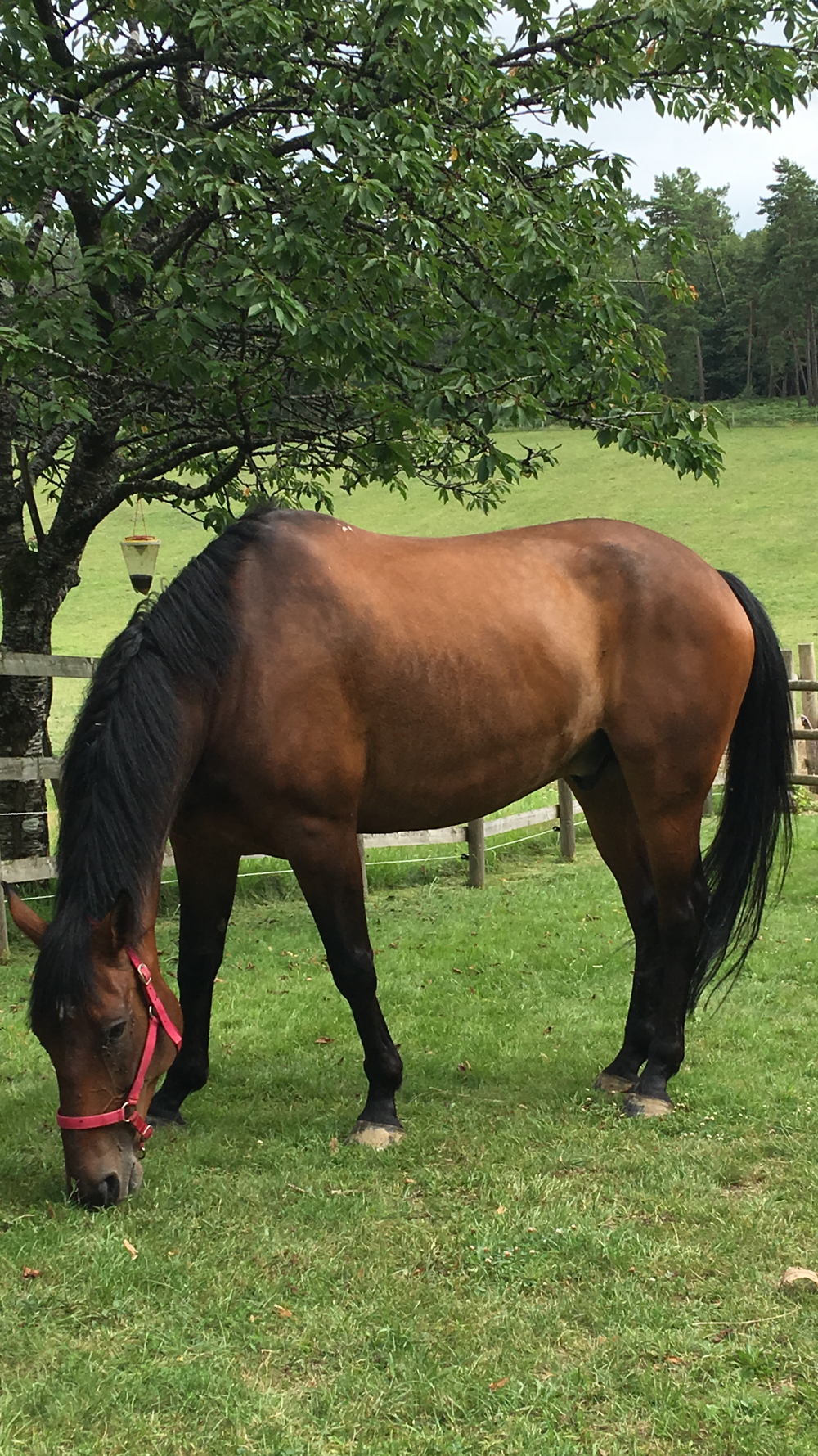 RANGER OUR LATEST HORSE FROM THE METROPOLITAN POLICE FORCE, LONDON WHO ARRIVED LAST AUGUST - HE SETTLED IN ON HIS FIRST DAY AS THOUGH HE HAD ALWAYS LIVED HERE. IF YOU WOULD LIKE TO DONATE TO HIS UPKEEP AND ALSO HELP ALL THE OTHER POLICE HORSES WE HAVE IN OUR CARE PLEASE CLICK HERETO BE TAKEN TO OUR DONATIONS PAGE