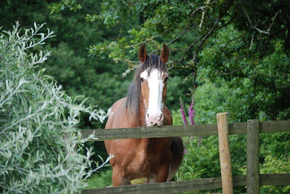 COPPERFIELD OUR TREASURED CLYDESDALE. A RETIRED NATIONAL TRUST CARRIAGE HORSE FROM ARLINGTON COURT IN DEVON