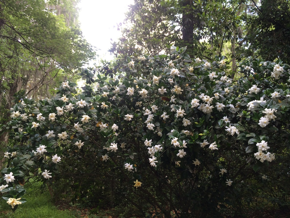 Mammoth Gardenias in the gardens of the Magnolia Plantation.