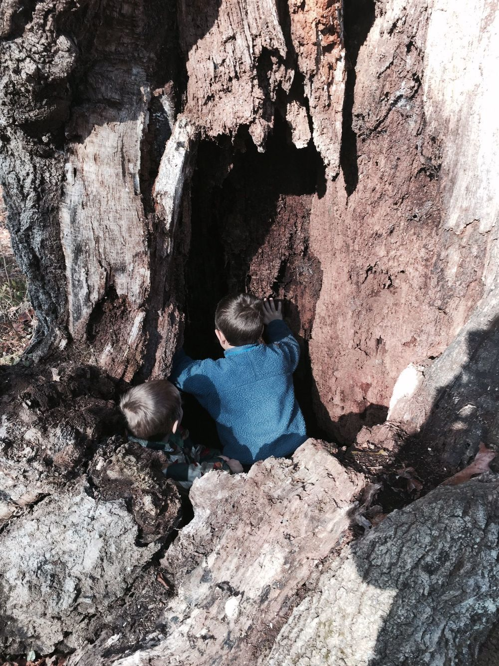 Exploring an old-growth oak tree near school
