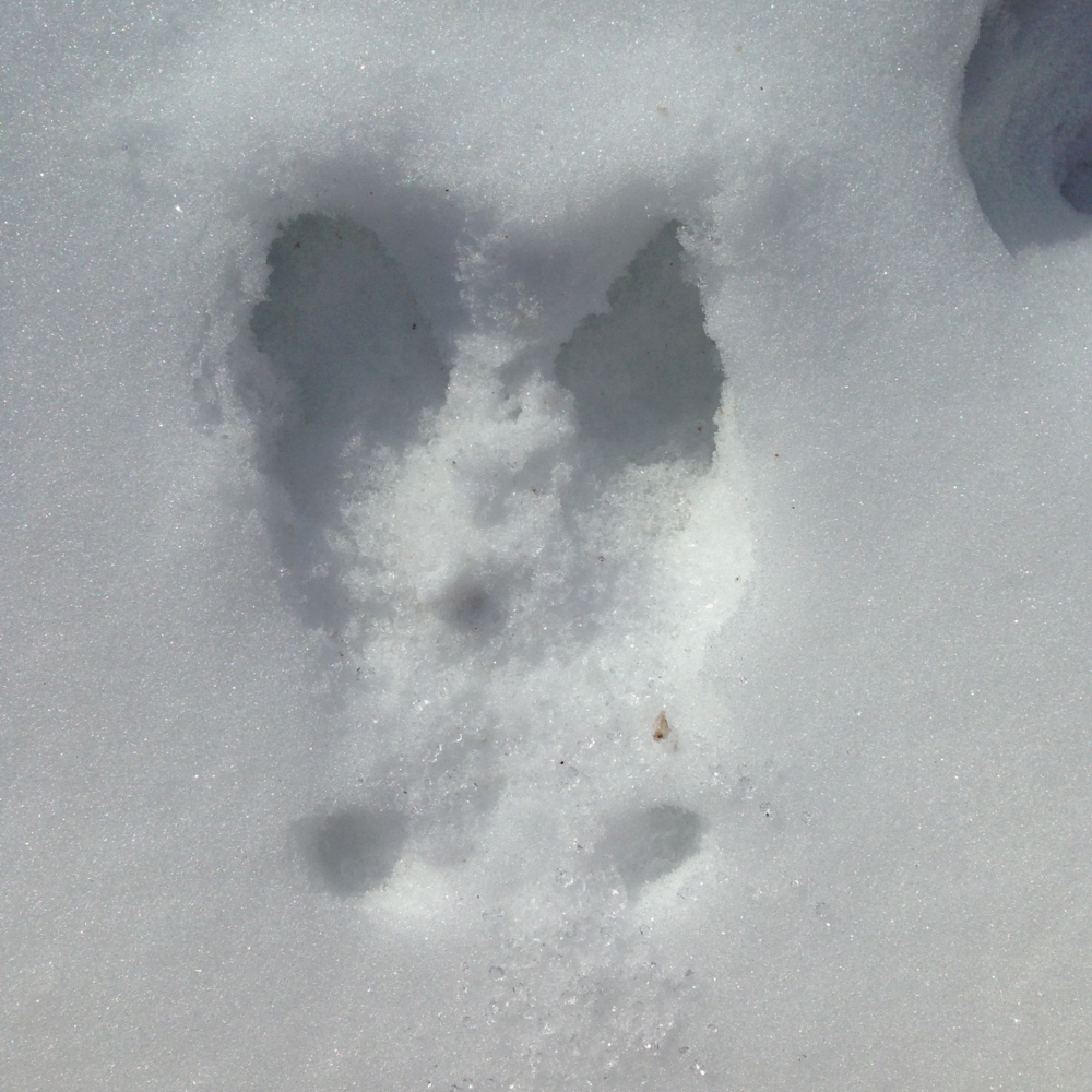 Splayed deer track showing dew claws (deer is traveling away from the viewer)