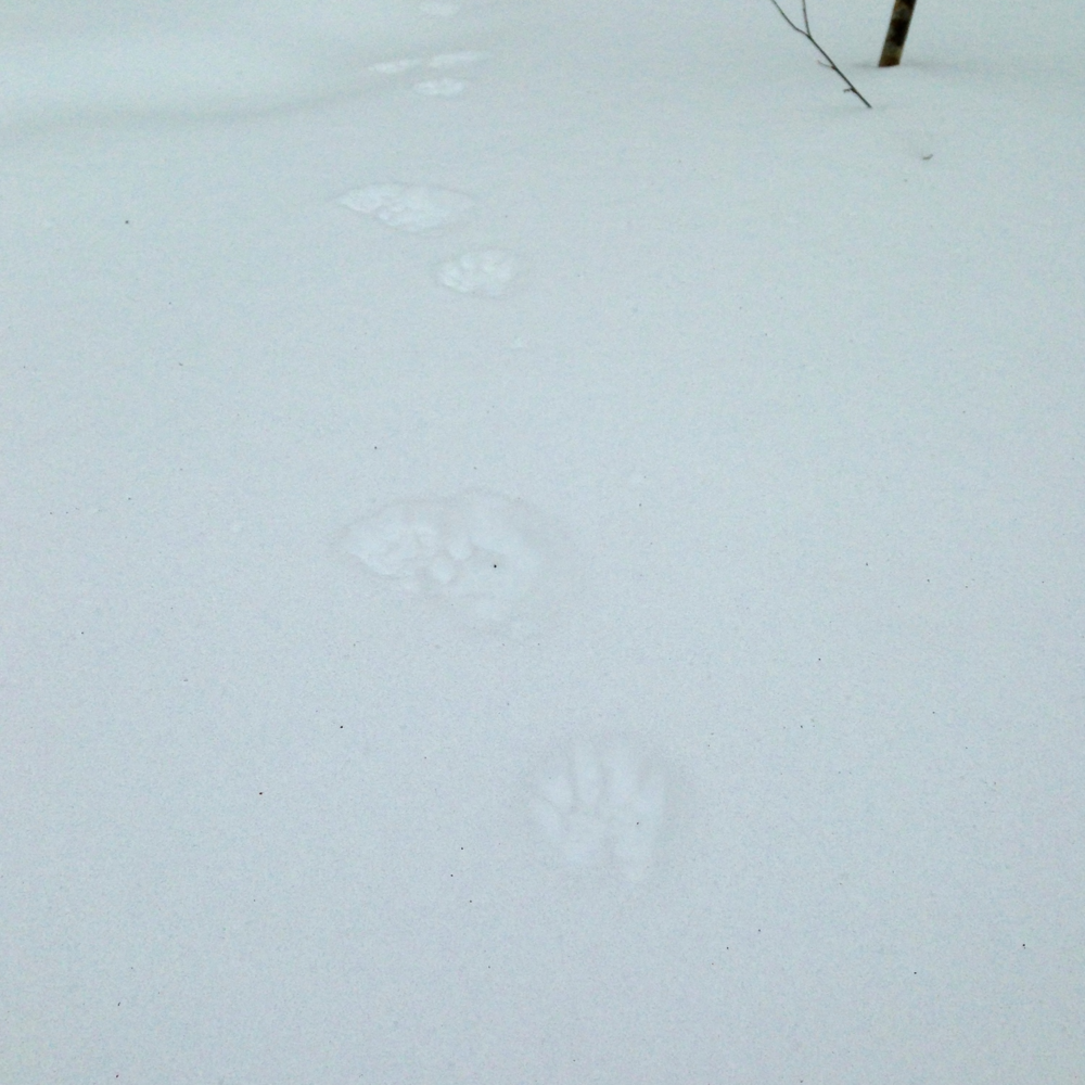 Racoon makes his reappearance. Spring is coming!