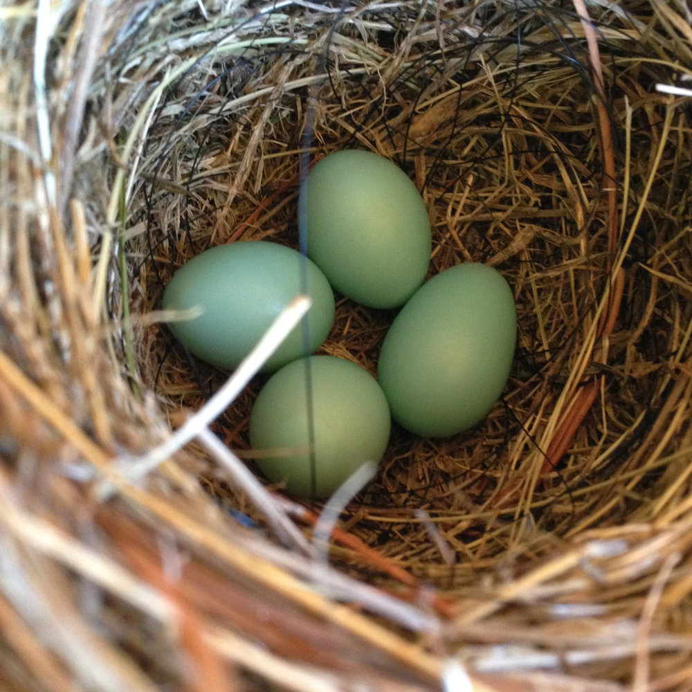 Four bluebird eggs on May 9th in the second box.