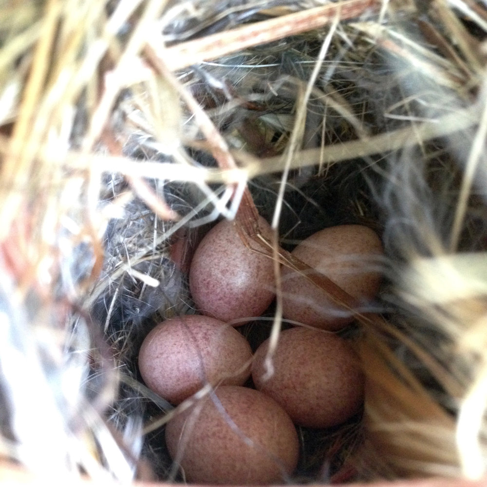Wrens eventually laid 6 eggs in our box at the Bee Fishing Field.