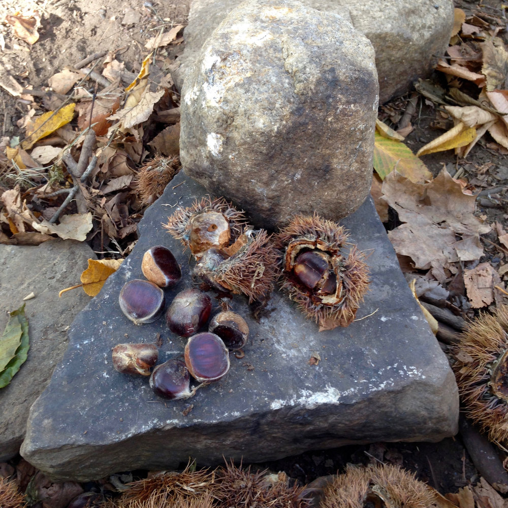 Shelling the chestnuts in preparation for roasting