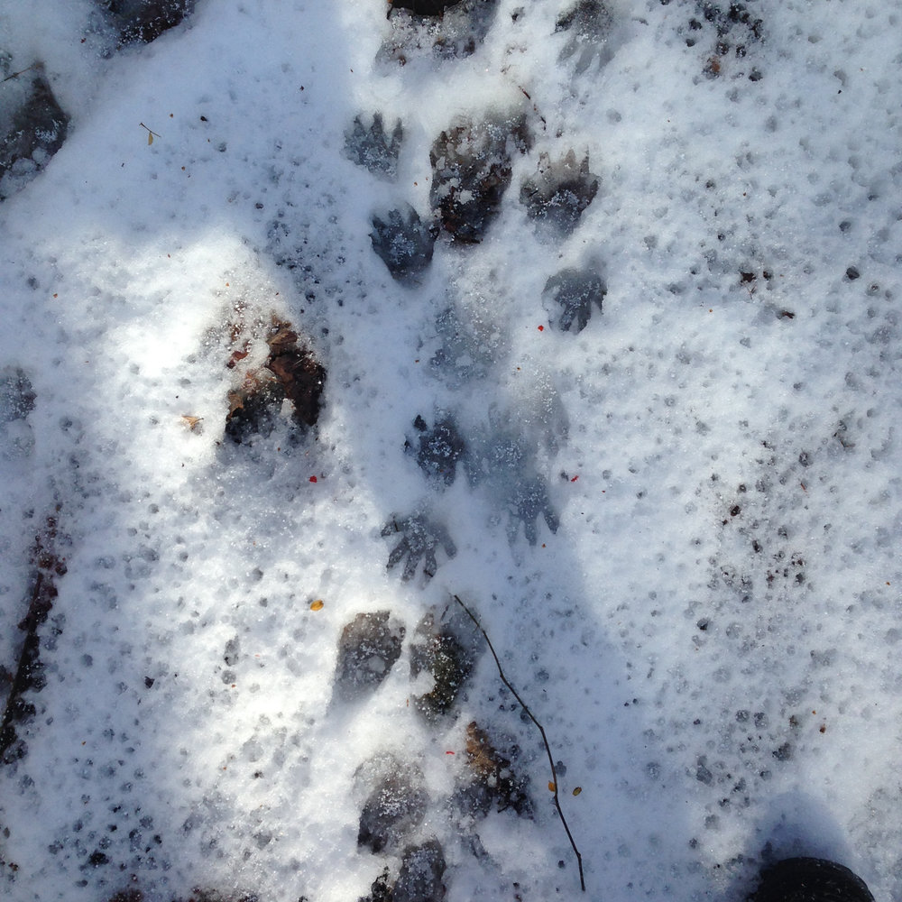During the early February warming the raccoons got super active and left tracks everywhere along the trails throughout the property.