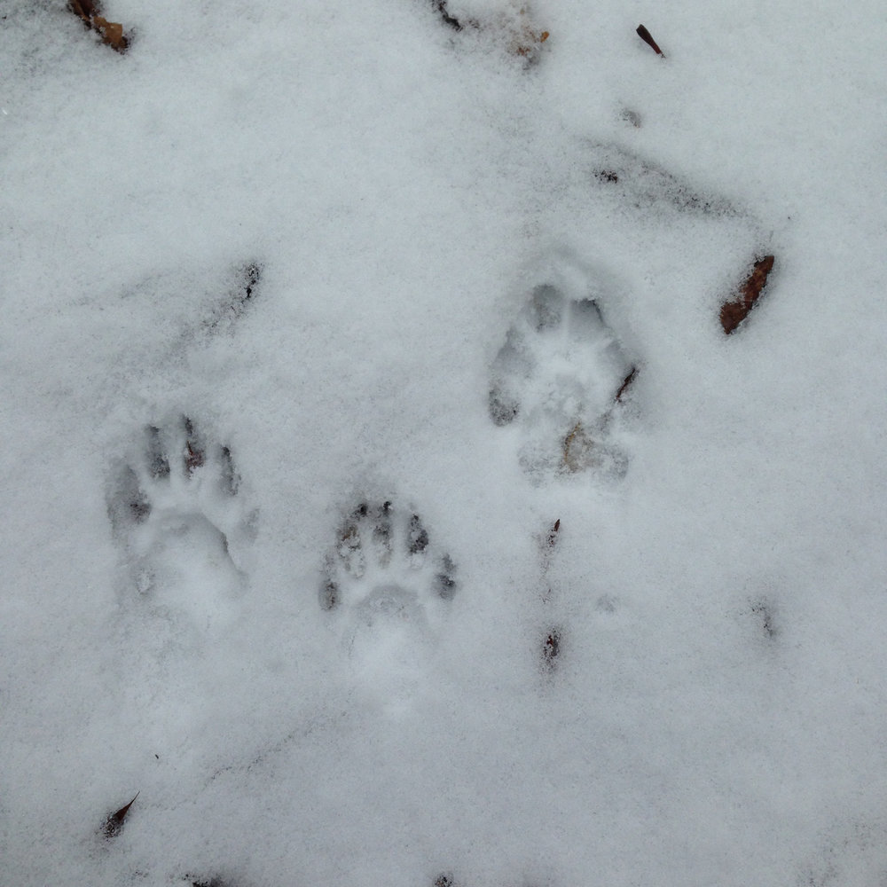 Kunsang had no difficulty identifying these tracks as belonging to a fisher (there's one bobcat track, too). The boy's tracking skills have come a long way!