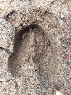 Deer track in the wet sand