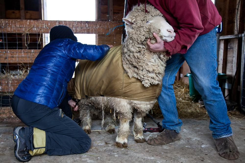 SheepShearing-30.jpg