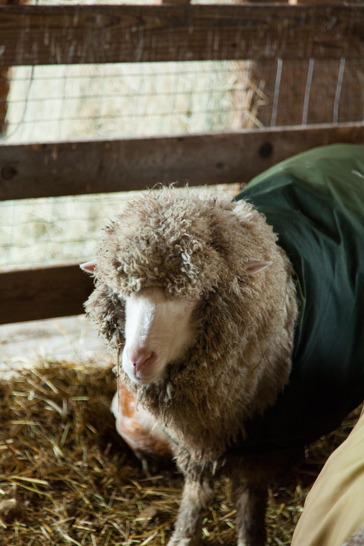 SheepShearing-23.jpg