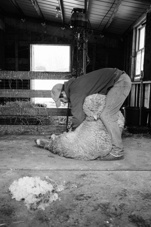 SheepShearing-40.jpg