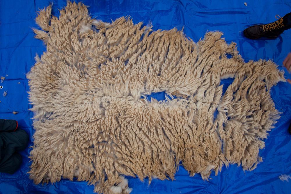 SheepShearing-82.jpg