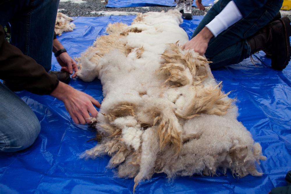SheepShearing-92.jpg