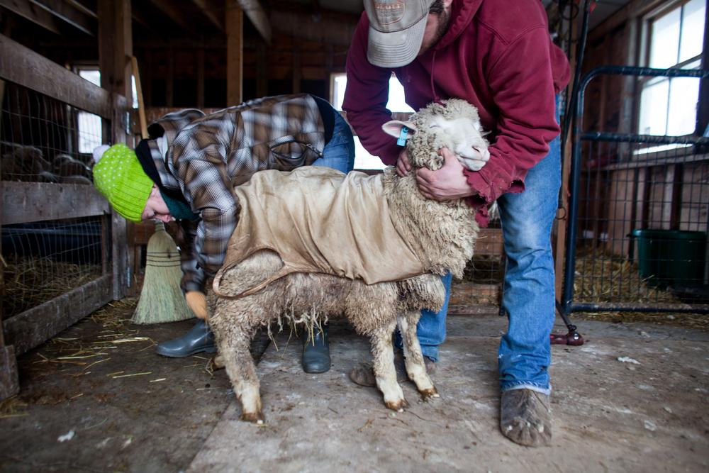 SheepShearing-108.jpg