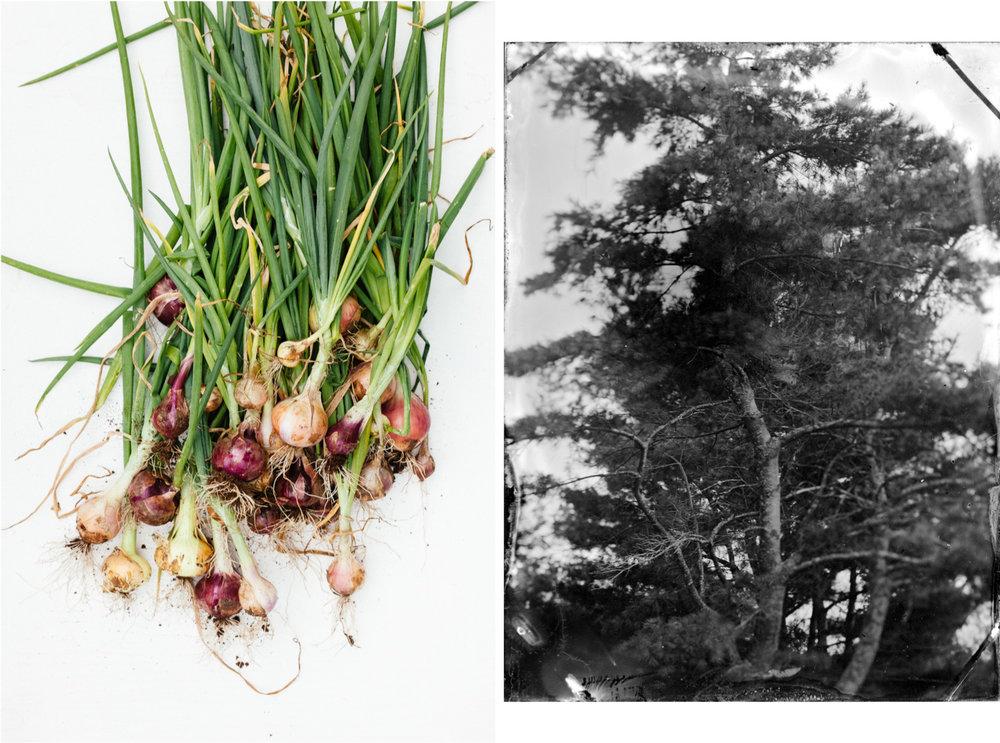 OnionsTree.jpg