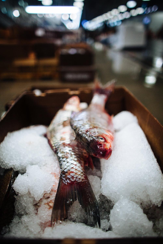 HeatherPhelpsLipton-Fish-HuntsPoint-FultonFishMarket-37.jpg