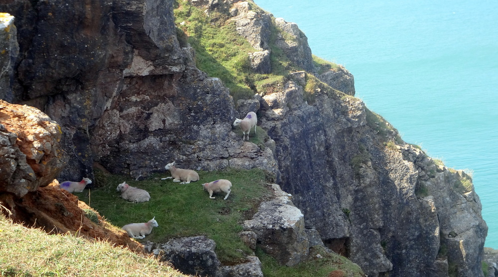 Daredevil sheep right on the cliff edge!!