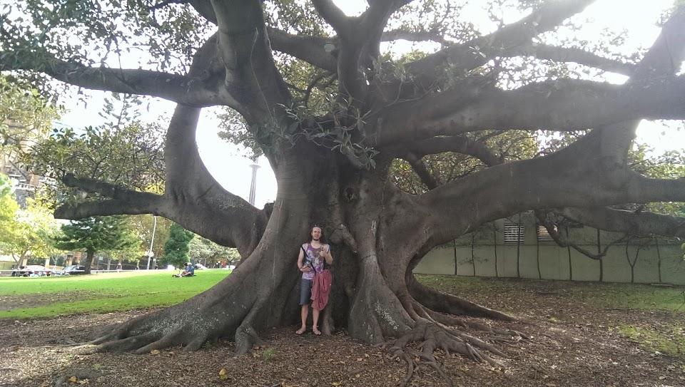 big tree sydney