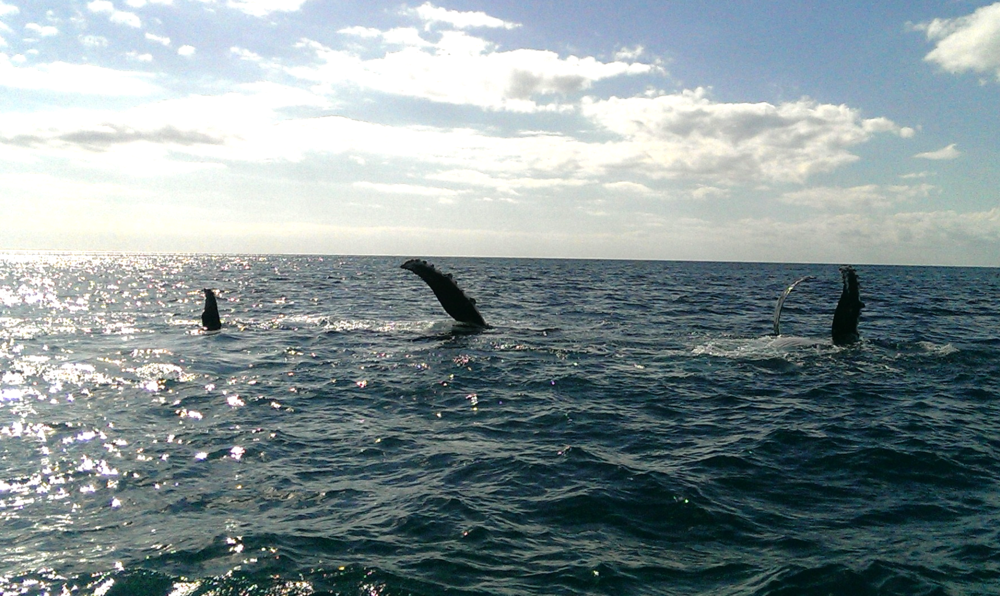 whales hervey bay