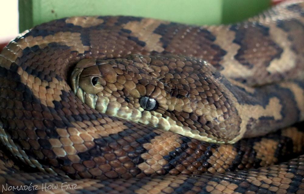 Carpet Python - Australia