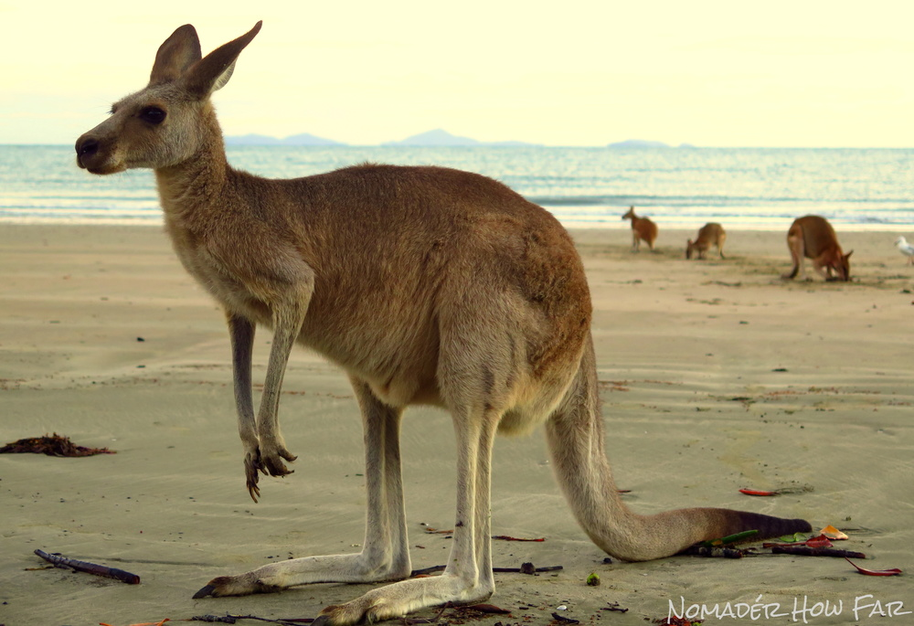 kangaroo cape hillsborough