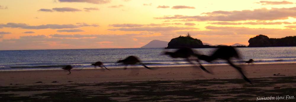 Kangaroos at sunrise - Cape Hillsborough, Australia