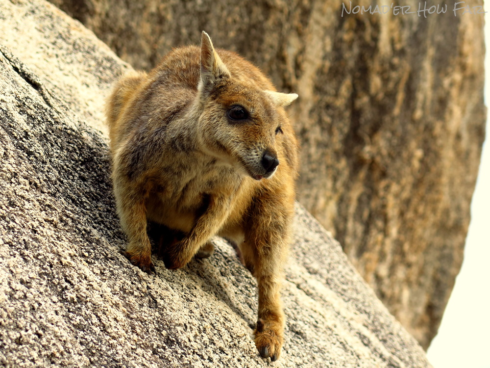 Rock Wallaby, Magnetic Island - Australia