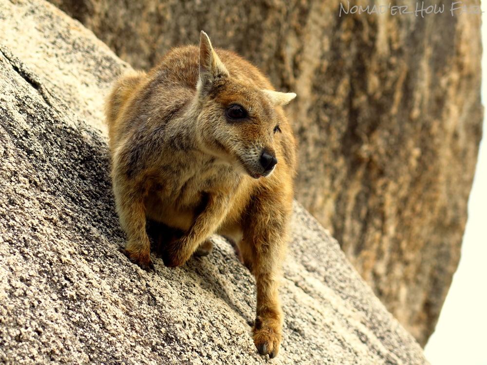 Rock Wallaby, Magnetic Island - Australia