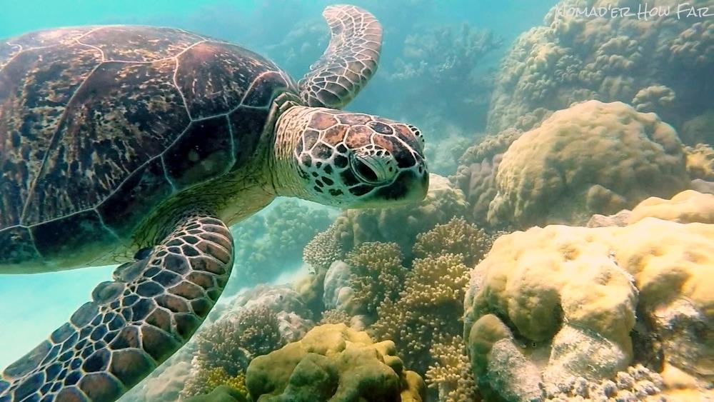 Turtle, Great Barrier Reef