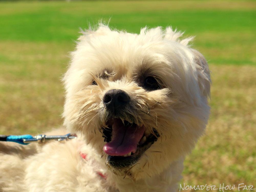 Barkly the dog, Australia
