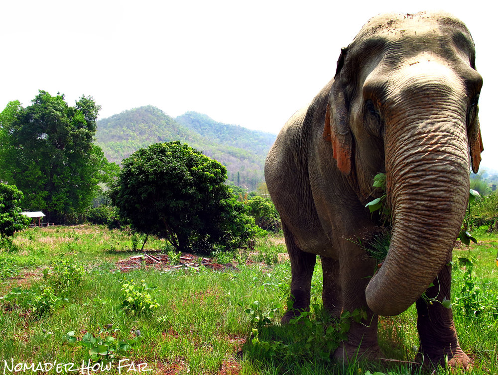 elephant looking at camera