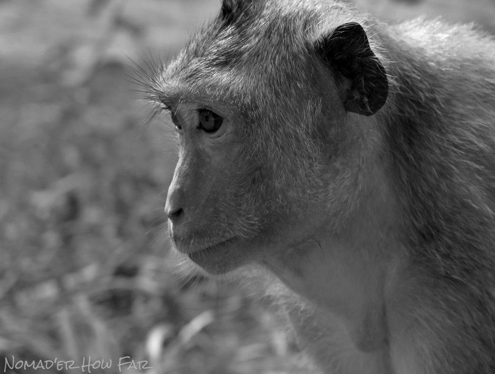 Wild Monkey - Angkor Wat, Cambodia